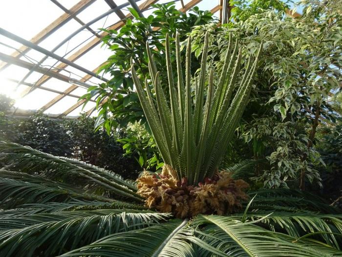 Последний раз древнейшее растение выбрасывало «корону» из листьев в 2014 году