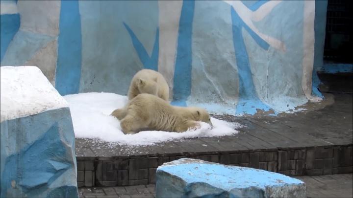 Счастье привалило: белые медвежата из зоопарка пришли в восторг от снега из льдогенератора