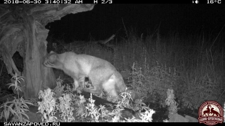 Редкий кот важно погулял перед камерами в заповеднике и доказал учёным, что у него всё в порядке