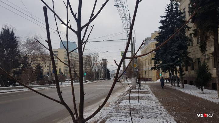 И так сойдёт: вместо вырубленных тополей в центре Волгограда высадили рябину