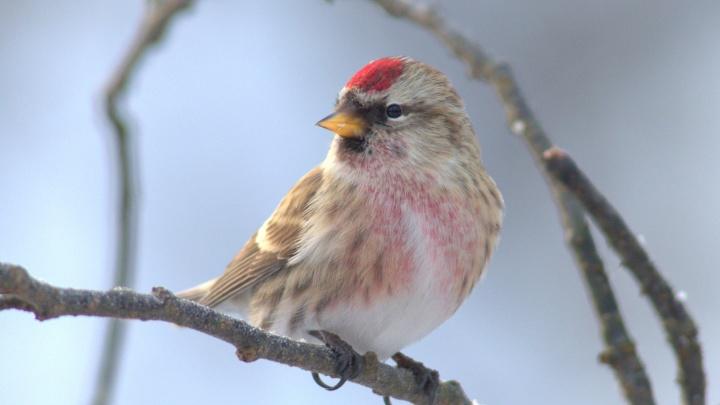 В Новосибирск прилетели спасаться от холода маленькие серые птицы с красными шапочками