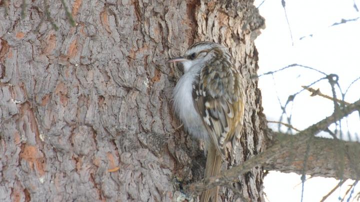 В Новосибирске заметили мелких птиц, которые бегают по стволам деревьев