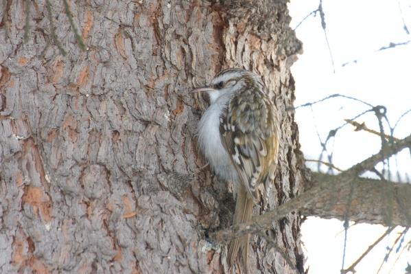 Пищуха обыскивает стволы деревьев в поисках мелких насекомых