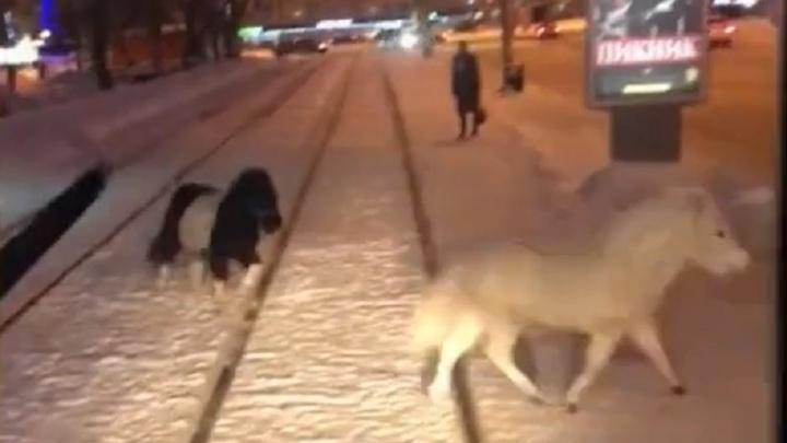Бегали по трамвайным путям, врезались в машину: по центру Перми гуляли беспризорные пони. Видео