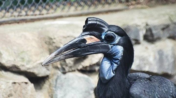 Общительного ворона Булю в зоопарке покормили мясом перед камерой