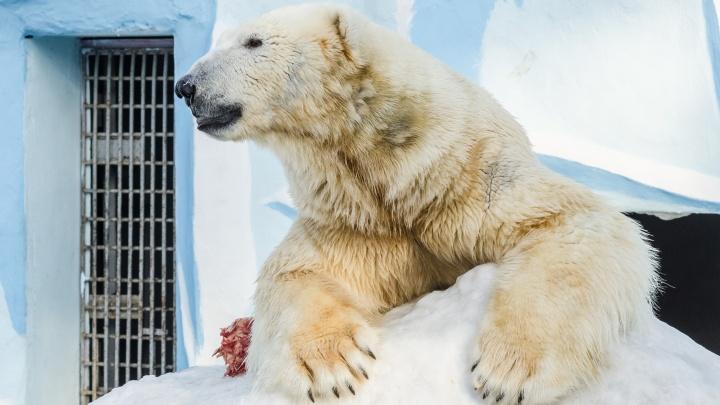 Белому медведю Каю — 10 лет: НГС выбрал лучшие снимки любимца новосибирцев