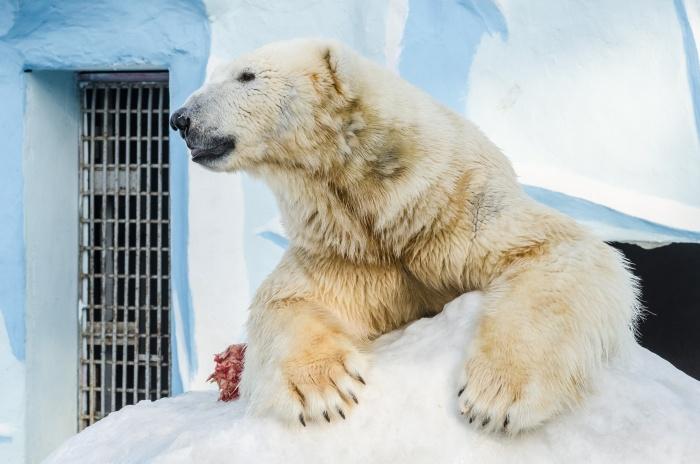 Кай живёт в Новосибирском зоопарке с 2008 года
