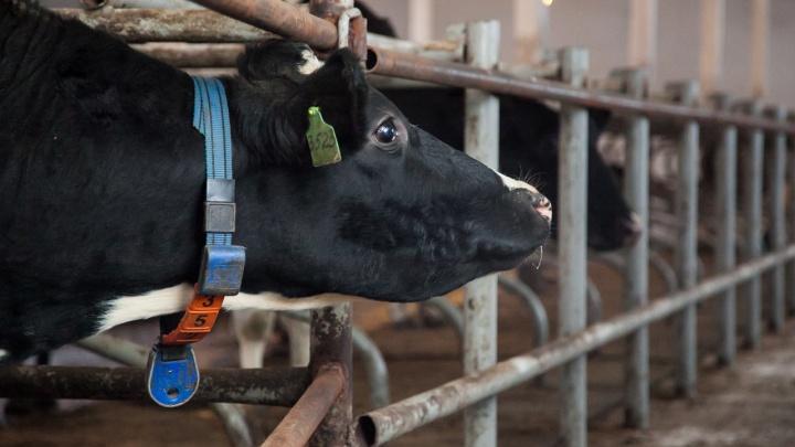 Котласская фермерша потратила грантовые 1,5 миллиона рублей на себя