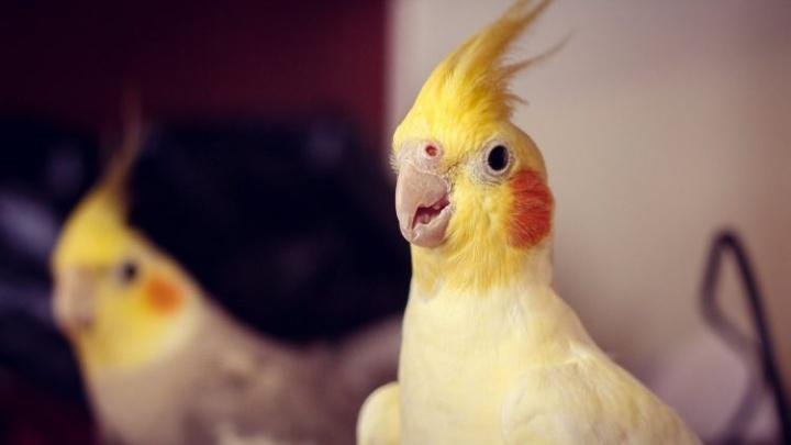 В Ростове из-за трех волнистых попугаев объявлен карантин по орнитозу
