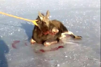 В Башкирии рыбаки спасли двух лосей и сняли все на видео