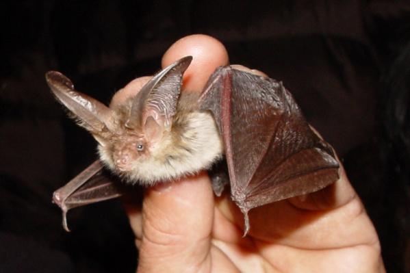 Ветеринары просят не хватать летучих мышей голыми руками