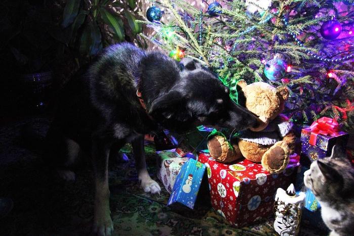 Новосибирцев интересуют только породистые собаки, дворняг перед Новым годом к себе домой никто забрать не решается