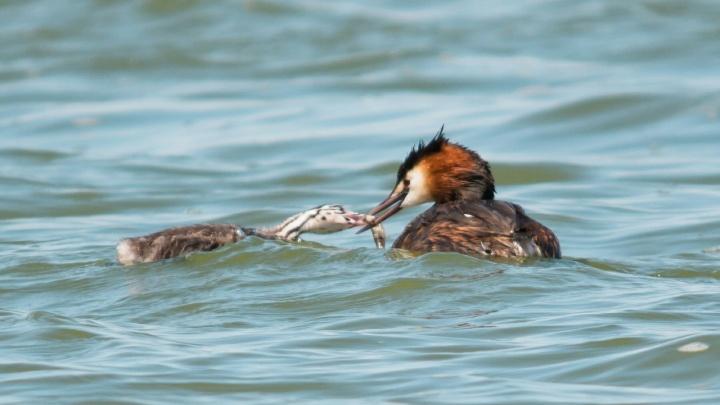 На берегах Волги и Ахтубы поселились птицы-суперродители