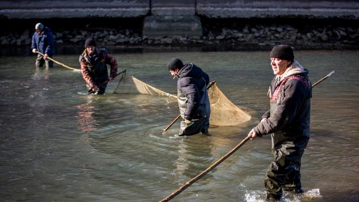 Новосибирцы с вёдрами и сетями спасли несколько тонн рыбы на шлюзе