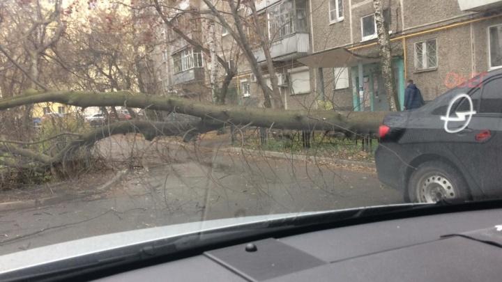 «Просто жесть, смотрится страшно!» Во дворе на Крауля дерево упало в трех сантиметрах от машины