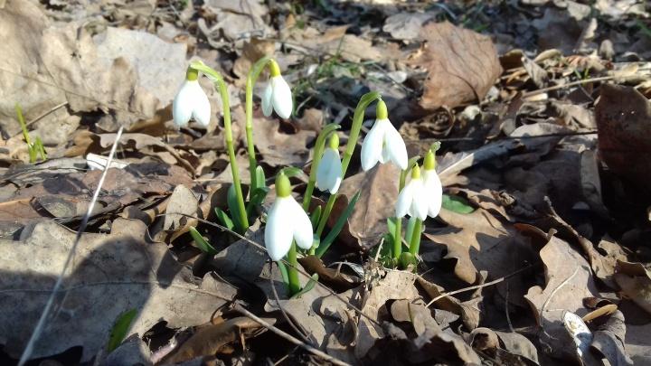 Весна пришла — весне дорогу: в ботаническом саду Уфы распустились первые подснежники