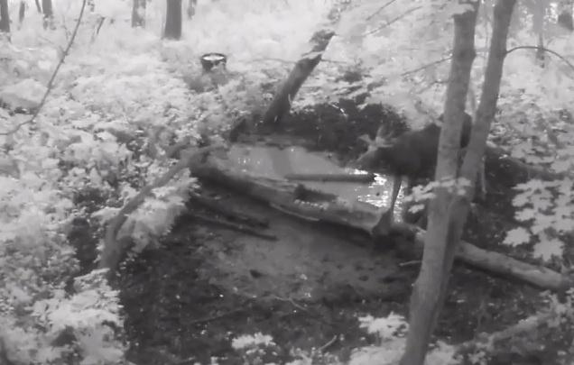Поел и прославился: в природном парке Башкирии в фотоловушку попался лось