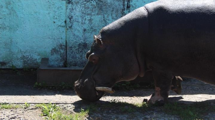 Омскому бегемоту Кёнигу на день рождения вручили торт из свёклы и хлеба