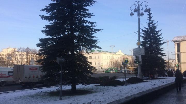 Под самый корешок: под окнами мэрии Екатеринбурга срубили редкую голубую ель