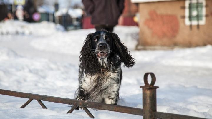 «Лезет не из пса, а из хозяина»: почему архангелогородцы не убирают за своими собаками на улице?