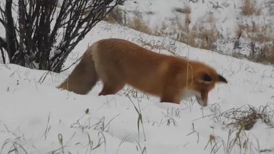 «Здоровые, не бешеные, вполне адекватные»: в музее «Малые Корелы» поселились две лисицы