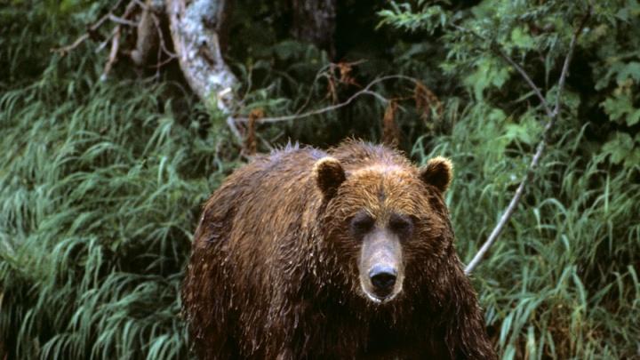 Медведь напал на молодую женщину на вертолётной площадке