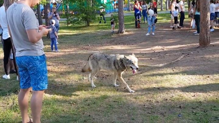Гуляющий по парку Гагарина волк вновь стал причиной споров челябинцев