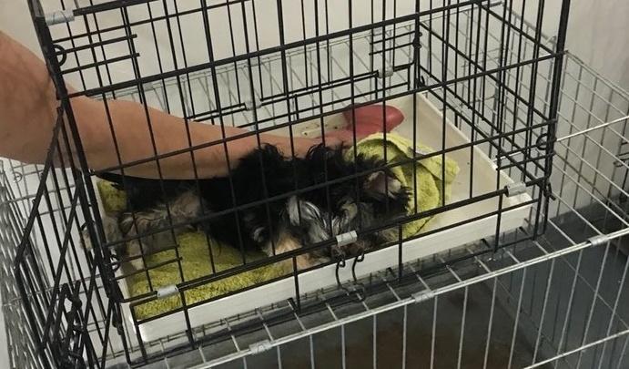 «Он в судорогах умер у меня на руках»: в Волгограде после лечения ветеринара погиб трехмесячный йорк