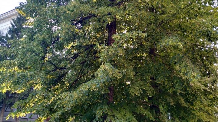 В Кургане осенью высадят 1800 деревьев
