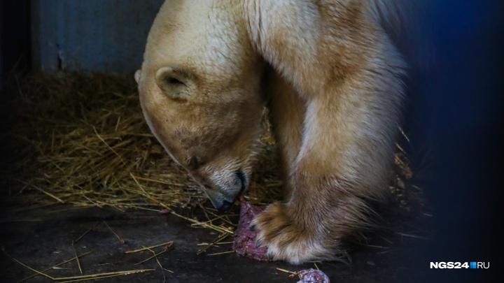 Белого мишку привезли в Красноярск: трогательные кадры спасения