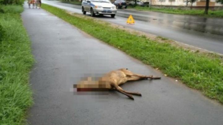 В Ярославской области под колёсами иномарки погибла косуля