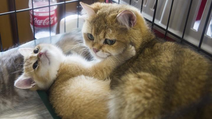 В «Глобус» привезли две сотни симпатичных породистых котиков