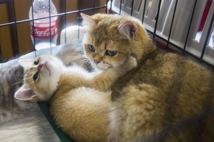 В выставке принимают участие более 200 кошек