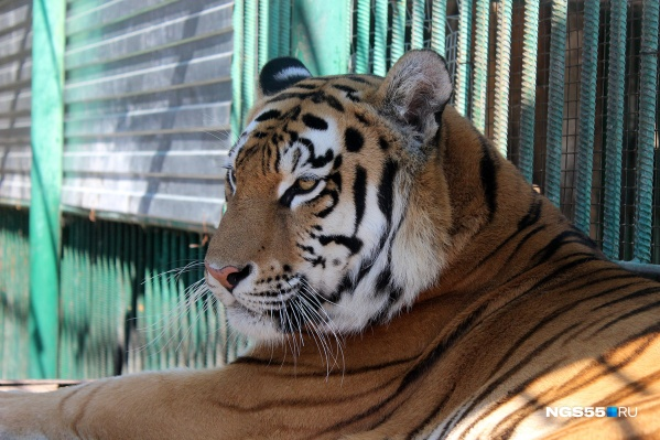 Тигрица Аза не любит посетителей. В частности, из-за того, что она ревнует к ним своих малышей