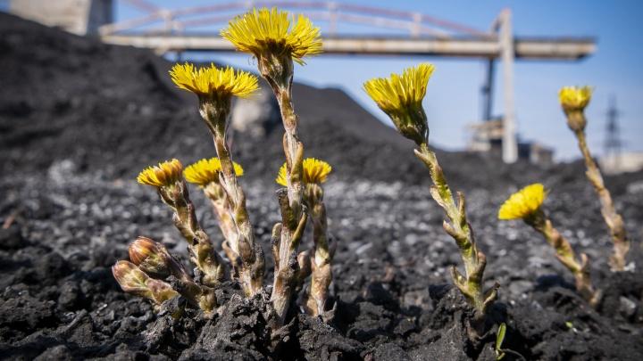 В новосибирских ТЭЦ начался сезон уборки угля (фото)