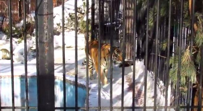 В вольер Ростика пересадили амурского тигра Макса
