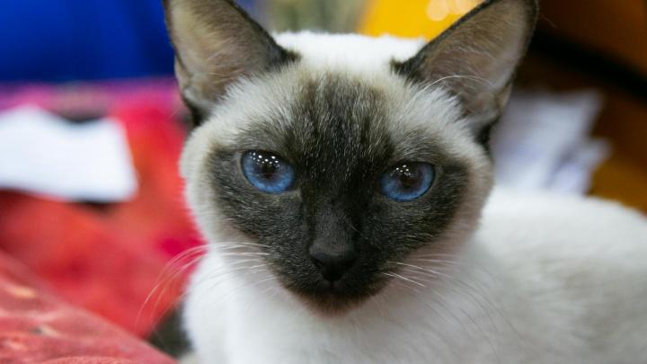 Пушистые и красивые: фоторепортаж с парада кошек в Архангельске