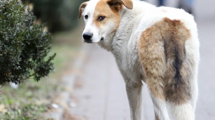 На Дону житель Двуречья убил собаку. Ветеринары выяснили, что она болела бешенством