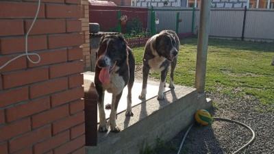Выкупили для собаки купе: спасенная волгоградцами алабай нашла хозяев и «близняшку» в Новосибирске