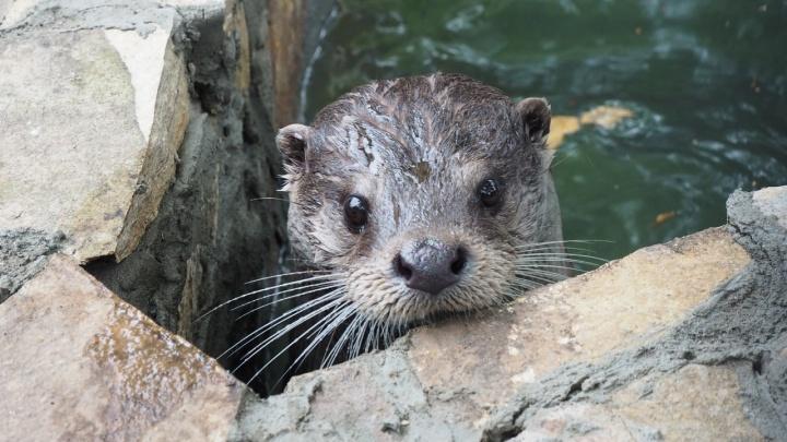 Милых выдр в зоопарке переселили в новый бассейн с водопадом: теперь они катаются с горки