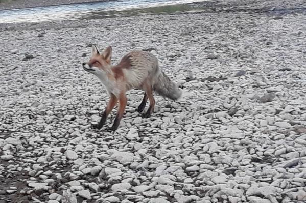 Летом лисы кажутся истощенными просто потому, что они сбрасывают густую и длинную зимнюю шерсть