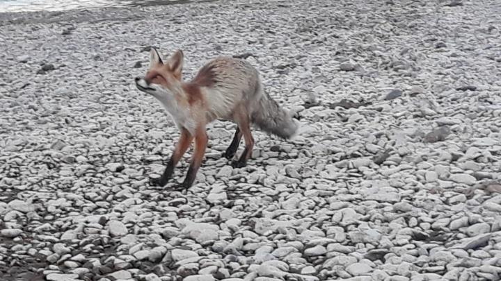 «Зоозащитники! Помогите!»: енисейцы приняли взрослых лис за тощих лисят и умоляют забрать в зоопарк
