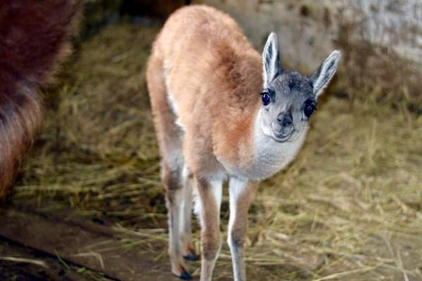 Пару гуанако зоологи создали в 2017, и уже через год родилась Адель