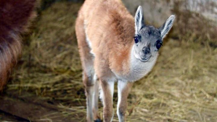 Маленькая гуанако и миниатюрные пони: в Ростовском зоопарке снова пополнение