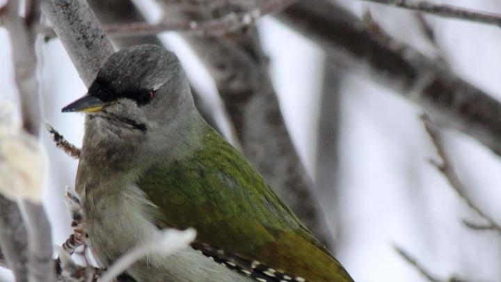 Фото: под Новосибирском заметили редкую зелёную птицу