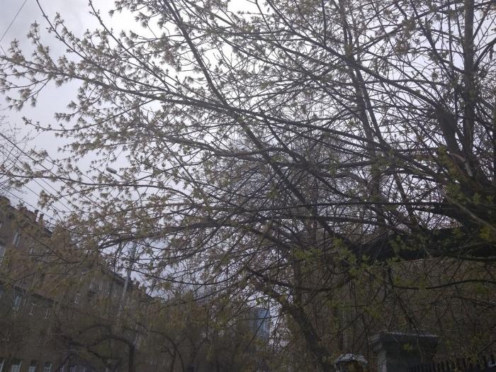 Многие деревья покрылись маленькими зелёными листочками