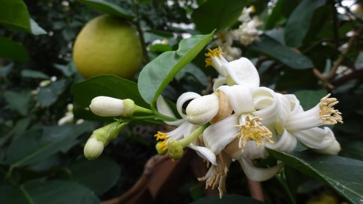 Меняют цвет, но не опадают: в Ботаническом саду зацвели лимоны с прошлогодними плодами