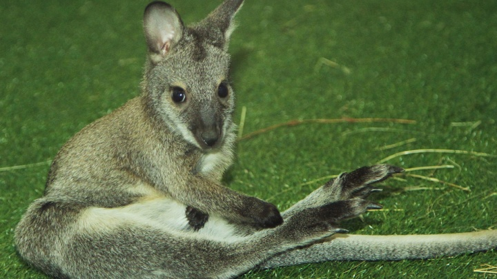 Смотрите, кто из сумки вылез: в екатеринбургском зоопарке родились кенгурята