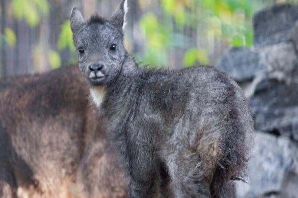 Китайские горалы относятся к исчезающим видам — таких животных больше нет ни в одном зоопарке России