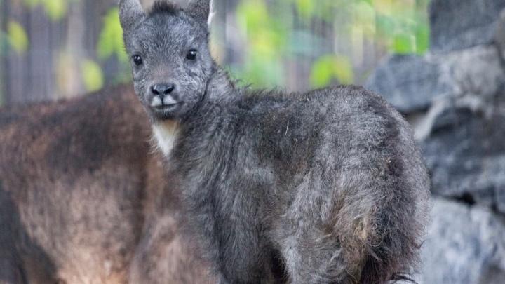 У редких козлов из Новосибирского зоопарка родился шустрый детёныш